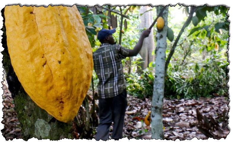 دراسة: عمالة الأطفال في مزارع الكاكاو في غانا وساحل العاج تتزايد أخبار غانا