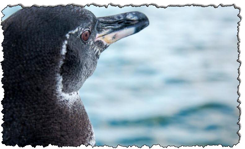 بطريق غالاباغوس ، عدد الطيور التي لا تطير يصل إلى مستوى قياسي | أمريكا اللاتينية
