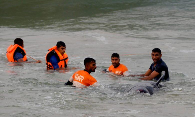بعد جنوح هائل ، أنقذت سريلانكا 120 حوتًا | سريلانكا