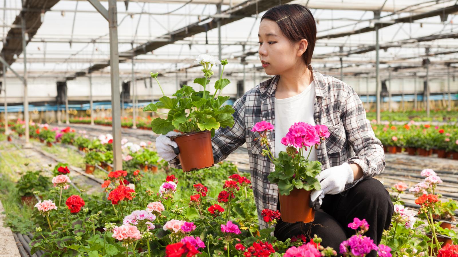 بائع زهور مبتهج يحمل أزهار إبرة الراعي المحفوظة في أصيص في الدفيئة